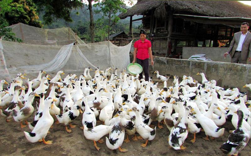 Chăn nuôi gia cầm quy mô lớn của nhà bà Hoàng Thị Hoan, thôn Thượng An, xã nông thôn mới Đồng Yên