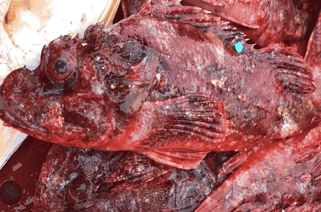 Cá mặt quỷ với bề ngoài xấu xí nhưng thịt ăn rất thơm ngon.