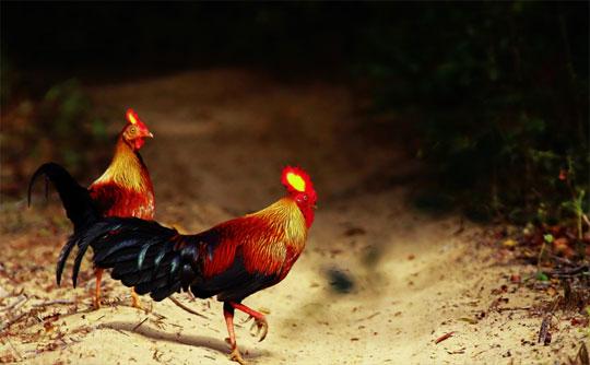 Gà rừng Sri Lanka hay còn gọi là Gà rừng Tích Lan được rất nhiều đại gia yêu thích, lựa chọn làm gà cảnh.