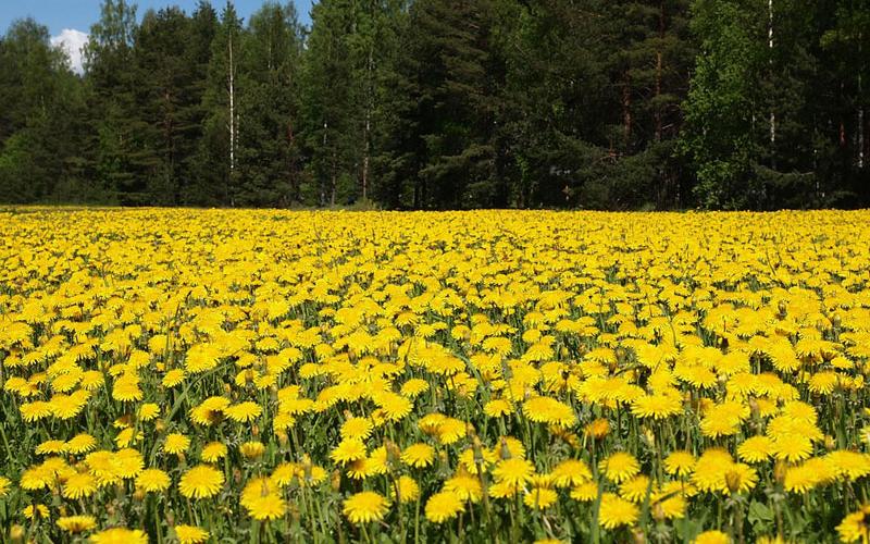 Tùy từng vùng miền mà hoa bồ công mang những ý nghĩa khác nhau.
