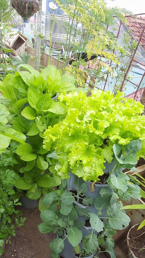 Chị Hà Hoàng (34 tuổi, Lào Cao) làm tháp trồng rau từ những thùng phi to hoặc trụ phân hủy rác hữu cơ - mỗi loại lại có ưu khuyết điểm riêng của mình khi trồng rau sạch trong nhà.