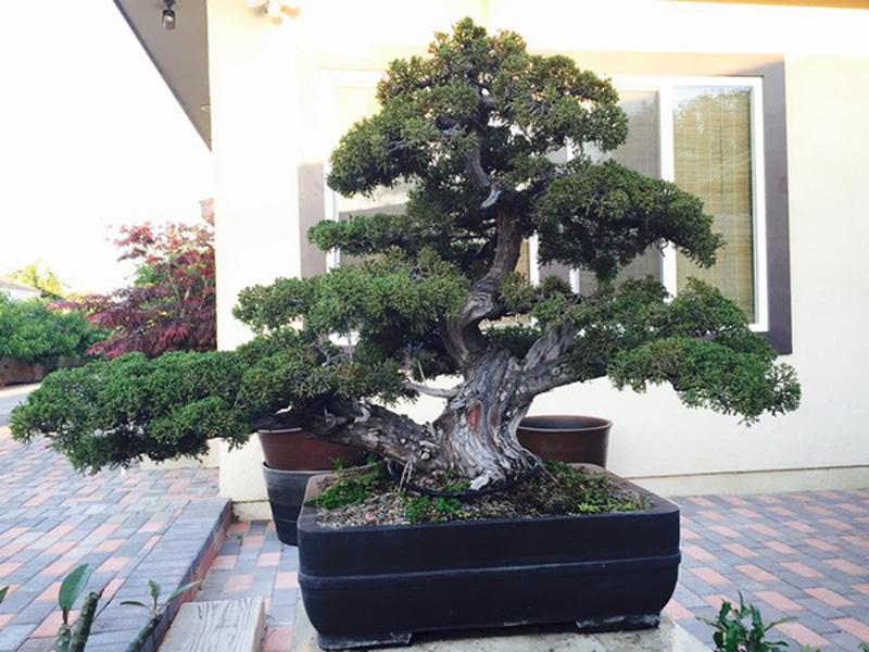 Bách xù Nhật, lại cây thuộc hàng