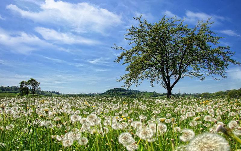 Bồ công anh là loại cây thân cỏ sống dai, rễ đơn, dài, khỏe, thuộc loại rễ hình trụ. Lá mọc từ rễ nhẵn, thuôn dài hình trái xoan ngược, có khía răng uốn lượn hoặc xẻ lông chim, mép giống như bị xé rách. Đầu màu đơn độc ở ngọn, cuống dài rỗng, từ rễ mọc lên. Hoa hình nhỏ ở phía ngoài có màu nâu ở mặt lưng, quả bế 10 cạnh, có mỏ dài. Các tơ của màu lông sắp theo 1 dẫy, ra hoa từ tháng 3 - 10.