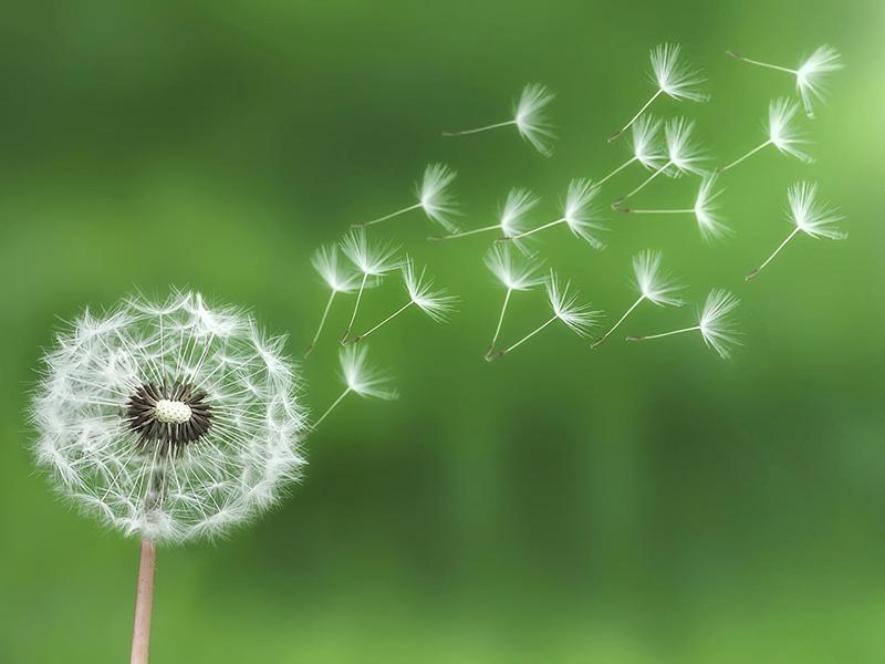 Bồ công anh có danh pháp khoa học là Taraxacum. Đây là chi thực vật có hoa thuộc họ Cúc.