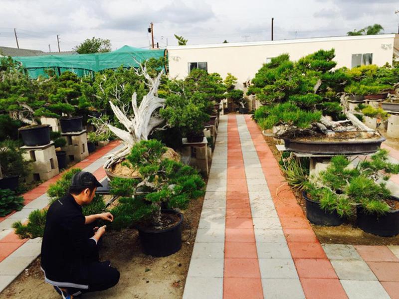 Góc vườn bonsai của Bằng Kiều với nhiều cây quý, hiếm.
