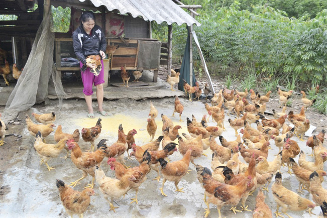 Một mô hình chăn nuôi gà thả vườn (Ảnh Bảo Hòa).