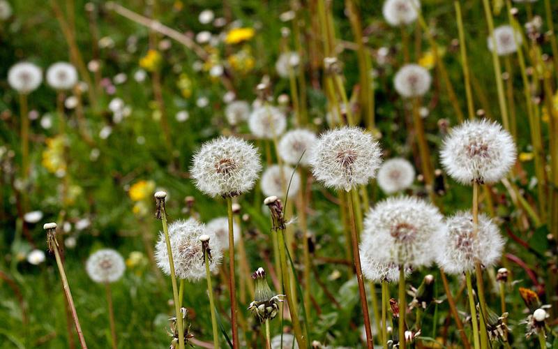 Là loài hoa luôn vươn mình trong gió, nên ý nghĩa của hoa bồ công anh gắn liền với những giấc mơ thành hiện thực ước muốn bay cao, bay xa.