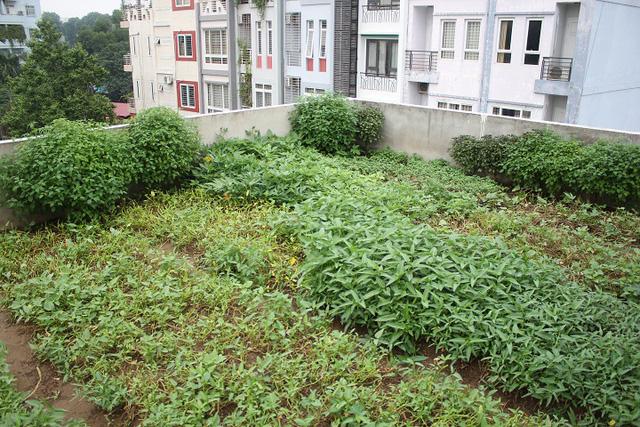 Phía ban công bên ngoài rộng 30m2 cũng được ông Chính thiết kế hệ thống chống thấm hiện đại và đổ đất trồng rau, không khác gì vườn rau sạch dưới mặt đất.