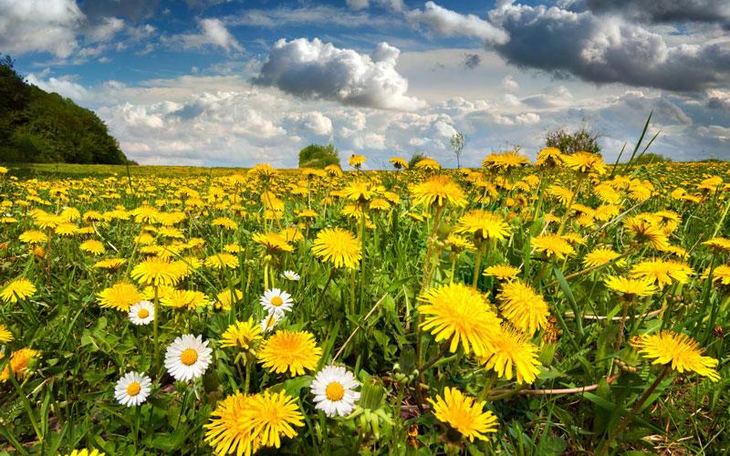 Loài hoa này có nguồn gốc từ các khu vực ôn đới của Bắc Bán cầu trong Cựu Thế giới.