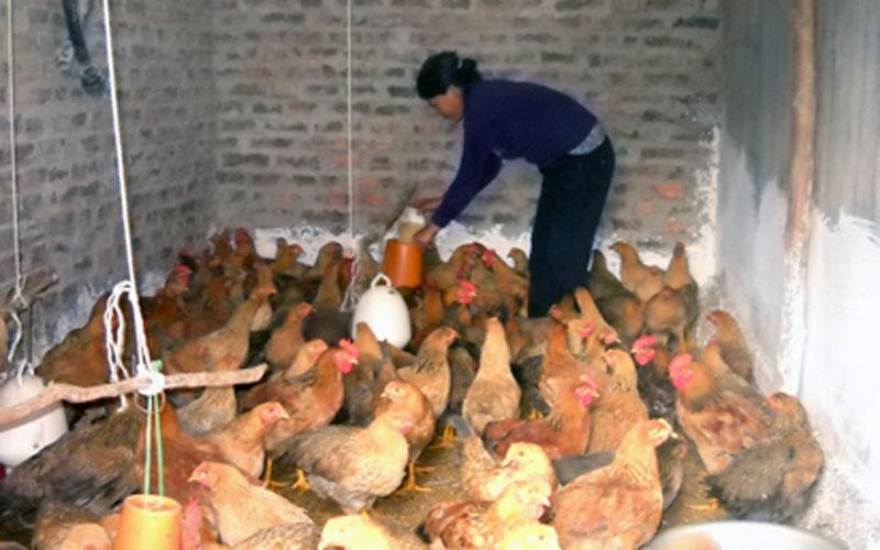 Mô hình chăn nuôi gà mía cho thu nhập cao tại thôn Nà Chuông xã nông thôn mới Mai Pha, thành phố Lạng Sơn