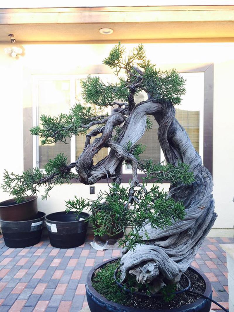 Những chậu bonsai của Bằng Kiều đều rất được chăm chút tỉ mẩn...