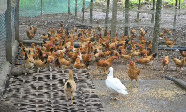 Để chăn nuôi gà thả vườn, cần quây lưới xung quanh vườn nuôi (Ảnh Bảo Hòa).