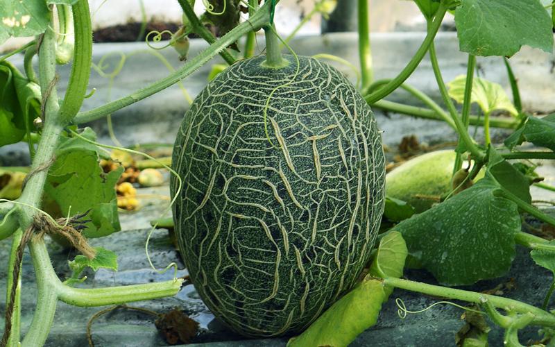 Vườn dưa lưới của Canthofarm trồng đa dạng các loại dưa để đáp ứng nhu cầu của khách hang.