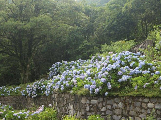 Cách trung tâm thành phố Cao Bằng khoảng 70km, vườn hoa cẩm tú cầu đang là điểm đến hot nhất những ngày qua, nằm ở Phía Đén (Nguyên Bình, Cao Bằng). Ảnh: Thư Phạm
