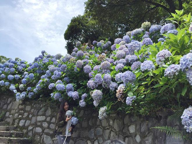 Vườn hoa cẩm tú cầu ở Phía Đén ( Cao Bằng) trở thành điểm check-in khiến những người mê du lịch