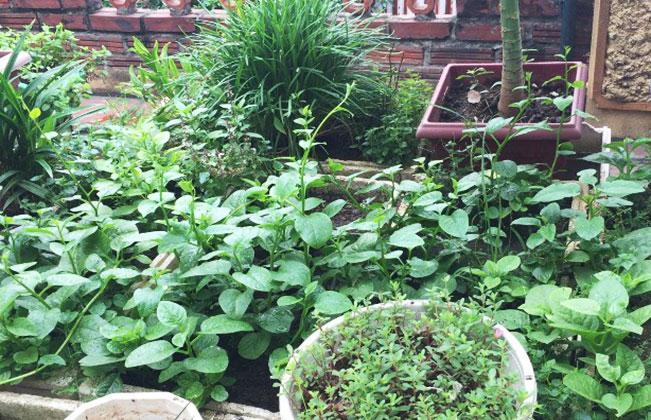 Vườn rau mồng tơi xanh tốt trồng trên sân thượng nhà phố (Ảnh: Huyền Phương)