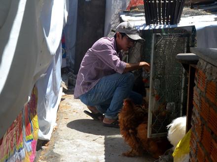 Anh Hùng đang chăm sóc đàn gà cưng. Ảnh: C.T