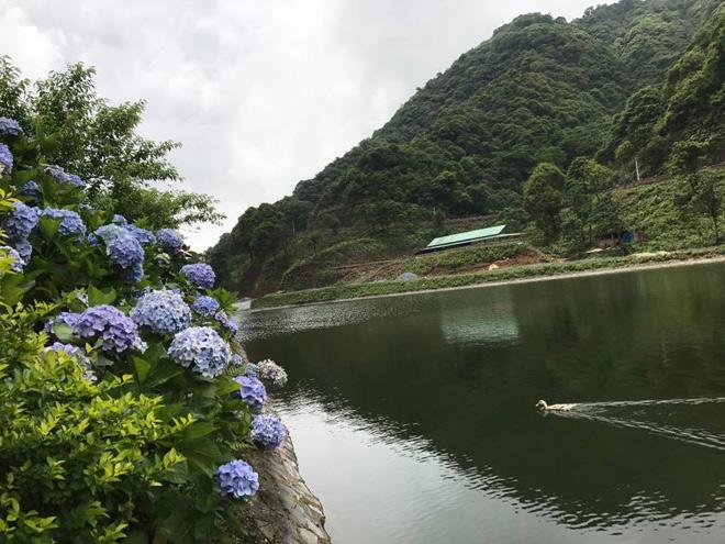 Cẩm tú cầu nơi đây phần lớn đều do người dân bản địa trồng, hoa nở ven sườn đồi, hai bên lối đi rất đẹp. Ảnh: Miss Tuyết