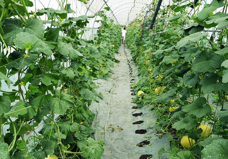 Nhà kính trồng dưa lưới diện tích 500m2 với chi phí đầu tư lên đến hàng trăm triệu đồng.