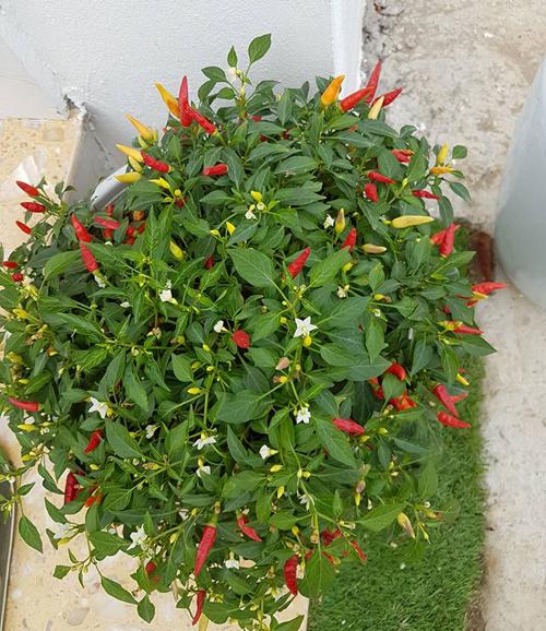 Trong vườn vừa nam ca sĩ có đủ loại cây từ đậu cô ve cho tới cây ớt chỉ thiên sai quả.