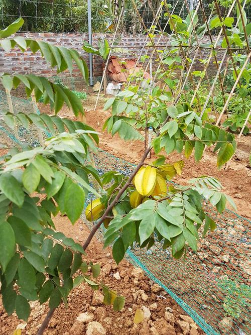 Ngoài rau, những cây ăn quả cũng nhiều không thiếu trong vườn của Việt Hoàn. Hình ảnh cây khế trĩu quả, căng mọng tại vườn của ca sĩ dù cây không cao.