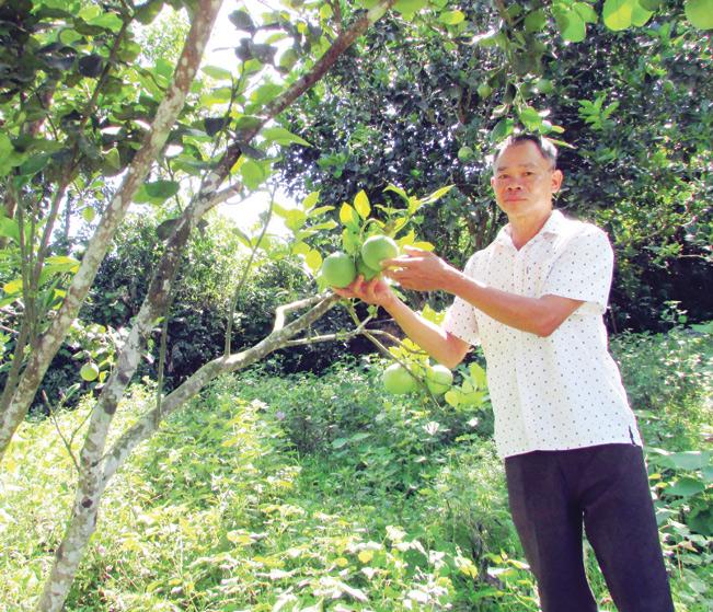 Ông Nhân bên vườn bưởi xum xuê quả của gia đình.
