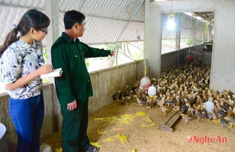 Các gia đình nuôi gà ở Thanh Chương luôn áp dụng quy trình chăn nuôi sạch sẽ, áp dụng đệm lót sinh học, thức ăn đảm bảo nên dịch bệnh hầu như rất ít khi xảy ra. (Ảnh: Thục Anh - Phương Thảo)