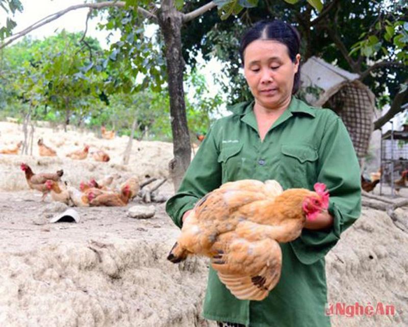 Ngoài nuôi tại các hộ gia đình, hiện toàn huyện Thanh Chương có trên 500 trang trại, gia trại nuôi gà, ước mỗi năm xuất chuồng trên 2 triệu con. Ảnh: (Ảnh: Thục Anh - Phương Thảo)