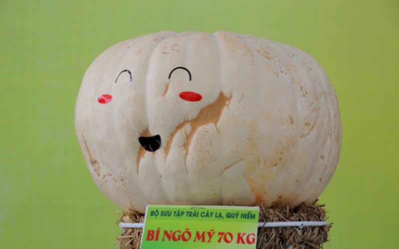 Đây là giống bí đỏ của Mỹ được trồng tại Việt Nam với trọng lượng lên tới 70kg (Ảnh: Ngôi sao)