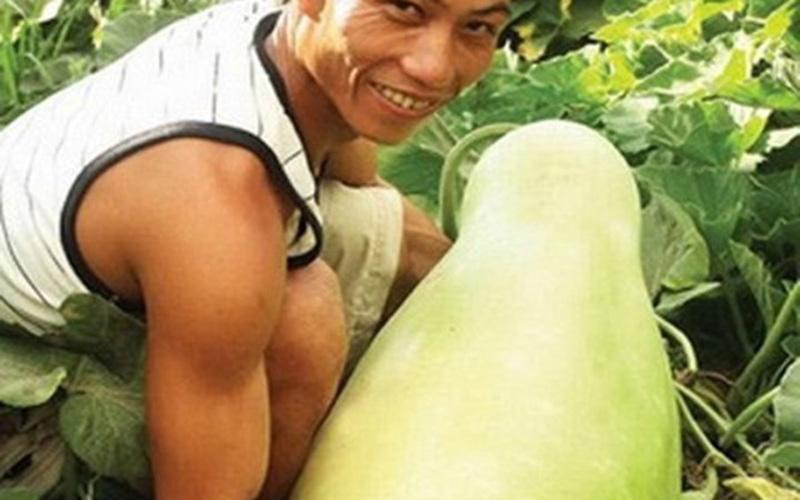 Anh nông dân ở Ninh Thuận đã trồng được một quả bầu nặng tới 35kg. Quả bầu này dài 0,7m, chu vi vòng tròn lớn nhất đo được 1m (Ảnh: Kiến thức)
