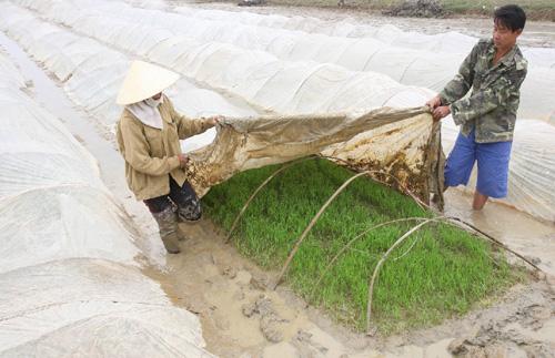 Nông dân được khuyến cáo che phủ ni lông cho cây trồng trong đợt rét này. (Ảnh: TTXVN)