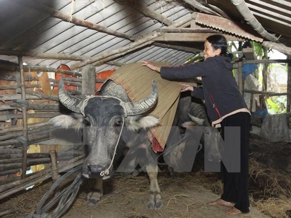 Người dân vùng cao đã có kinh nghiệm chống rét cho gia súc, gia cầm. (Ảnh: TTXVN.)