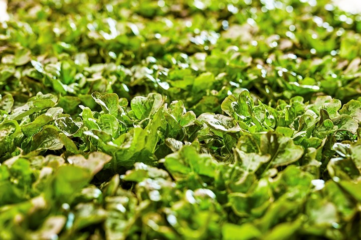 The Brain được quản lý bởi một nhóm nhà khoa học nông nghiệp xử lý dữ liệu từ cảm biến tại trang trại. Con người chỉ tham gia vào việc chọn lựa hạt giống và các giai đoạn hậu thu hoạch như nhặt bỏ lá hỏng và đóng gói sản phẩm. (Ảnh: Tech Crunch).