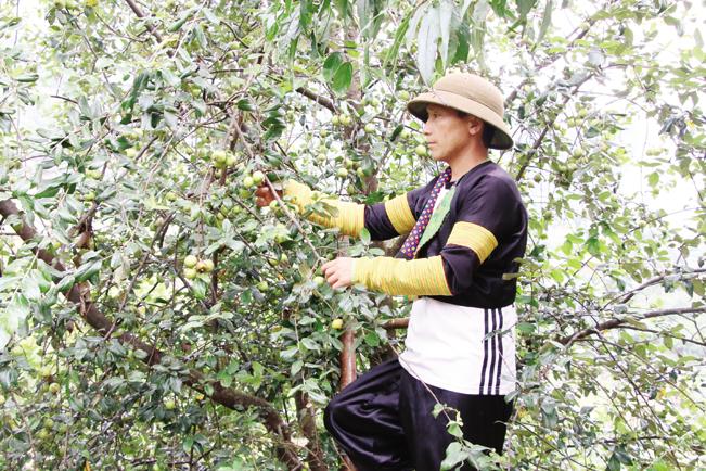 Táo sơn tra đang là cây trồng đem lại nguồn thu nhập ổn định cho người nông dân.