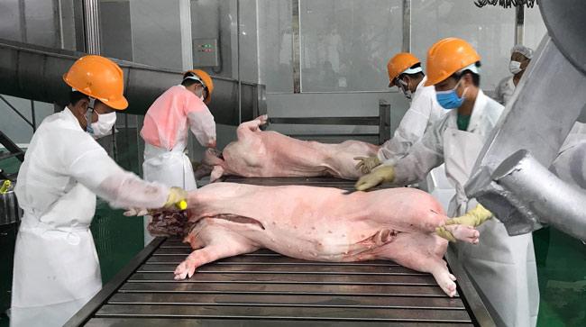 Lợn hơi được giết mổ theo dây chuyền, công nghệ hiện đại tại Nhà máy Biển Đông DHS. Ảnh: B.H