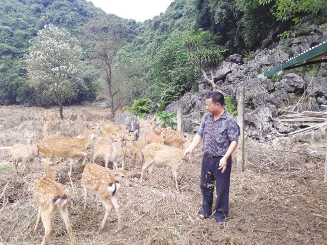 Ông Trịnh Văn Tiến gọi đàn hươu về trại.