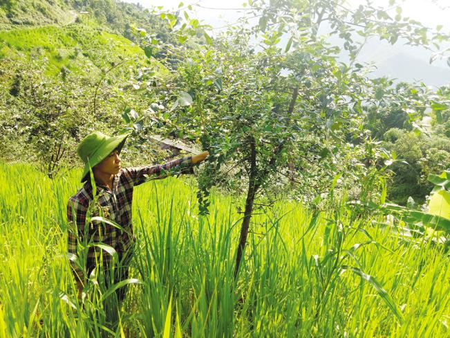 Chuyển đổi cơ cấu cây trồng đang được người dân huyện Mường La tích cực thực hiện.