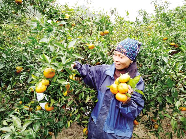 Cây cam đã phủ xanh các vùng đồi ở Phù Yên.