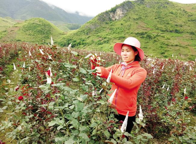 Nhiều nông dân đã mạnh dạn chuyển cây lương thực kém hiệu quả sang trồng các loại cây có giá trị kinh tế cao.