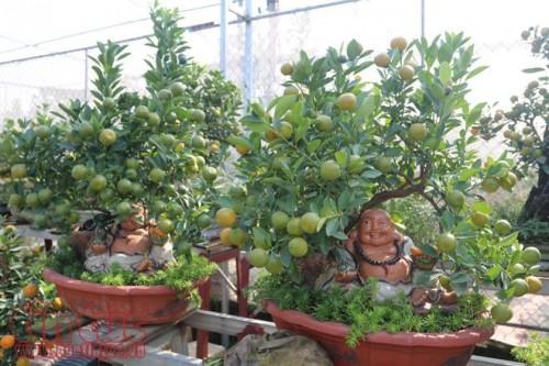 Trồng quất bonsai phải có kinh nghiệm đón quả giữ hoa cho cây theo đúng thời điểm, vì thời tiết nóng lạnh thất thường. (Ảnh: TTXVN)