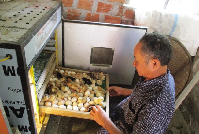 Hiện ông Nguyễn Văn Công đã đầu tư 4 máy ấp, trung bình mỗi tháng cung cấp ra thị trường khoảng 3.000 con gà giống để bán cho các hộ nuôi trên địa bàn. Ảnh: Trần Hậu