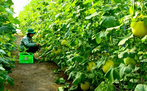 Thu hoạch dưa lưới tại Khu nông nghiệp công nghệ cao An Thái (Phú Giáo)