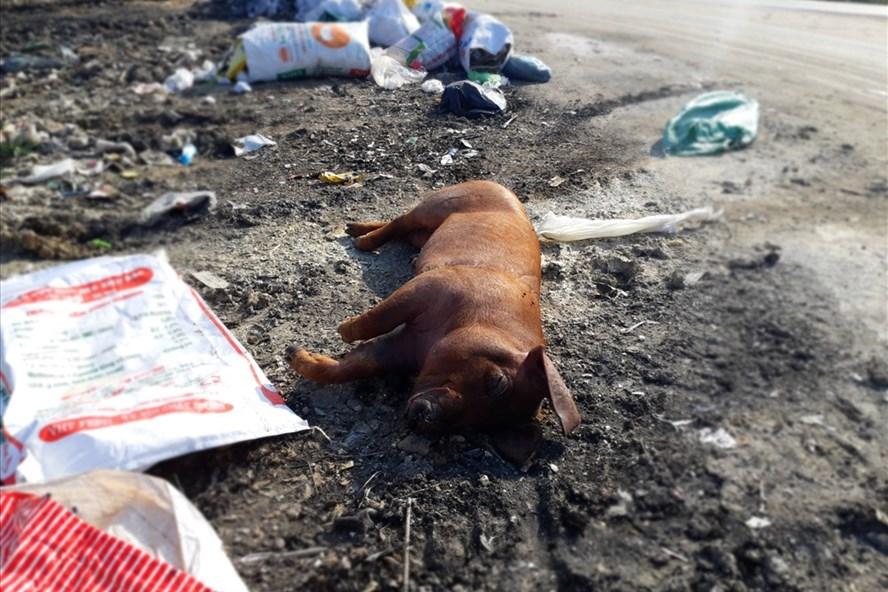Lợn bị bệnh lở mồm long móng bị người dân Tản Lĩnh (Ba Vì, Hà Nội) vứt ra đường. Ảnh: LĐ.