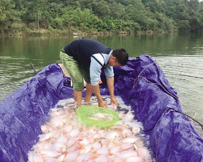 Để cá kháng bệnh tốt, anh Mừng trộn tỏi xay vào thức ăn và mua thêm cá bột bổ sung lượng đạm thường xuyên.