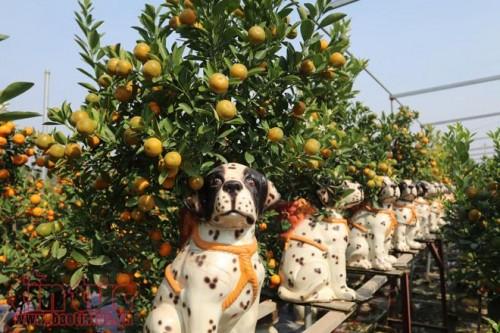 Mẫu quất bonsai trồng trên lưng những chú chó, ăn theo biểu tượng của năm Mậu Tuất 2018. (Ảnh: TTXVN)