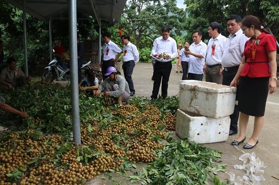 Nhờ áp dụng khoa học kỹ thuật trong sản xuất, vài năm trở lại đây cây nhãn Sông Mã đang mang lại nguồn thu nhập khá cho người nông dân.