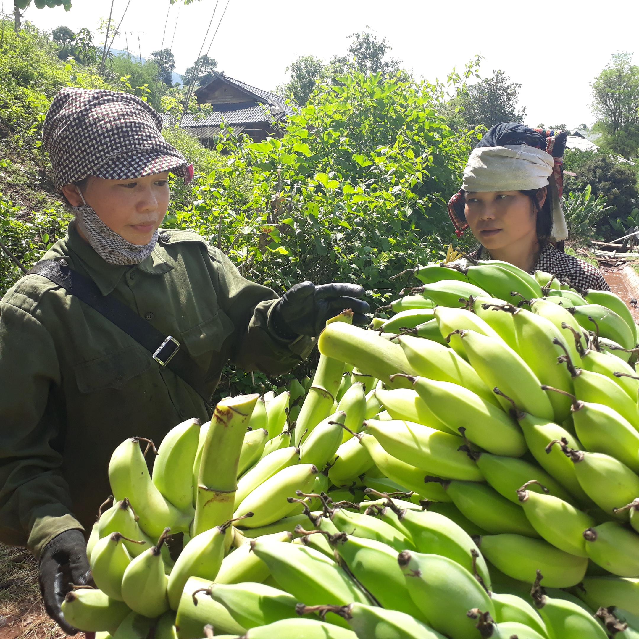 Yên Châu đang dần hình thành nhiều vùng nông sản hàng hóa như chuối, cam, xoài.