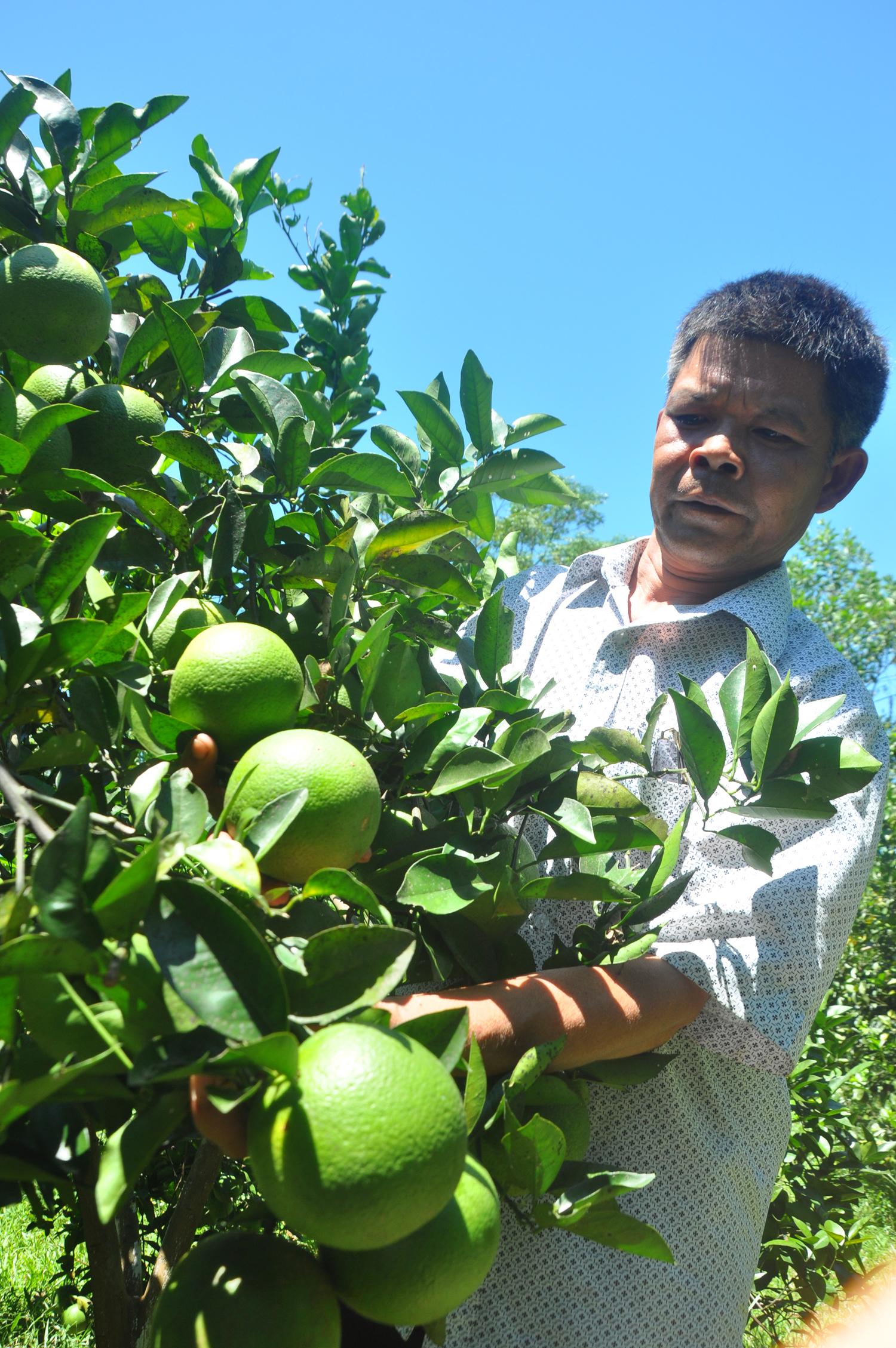 Ông Đinh Phúc Tiến bên vườn cam đặc sản của gia đình. Ảnh: Hải Đăng