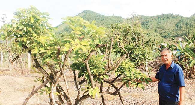 Vườn cây ăn quả của ông Triết đã phục hồi khá nhanh sau trận bão số 12.