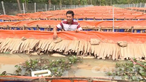 Trang trại nuôi lươn bố mẹ để lấy trứng ấp của anh Tân.